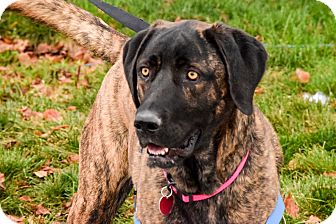 Great Dane/Plott Hound Mix Dog for adoption in Meridian, Idaho - Lucy
