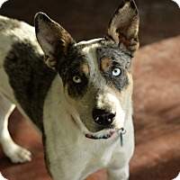 Blue Heeler/Catahoula Leopard Dog Mix Dog for adoption in San Antonio, Texas - Zeke