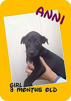 Labrador Retriever/Retriever (Unknown Type) Mix Puppy for adoption in LAKEWOOD, California - Annie