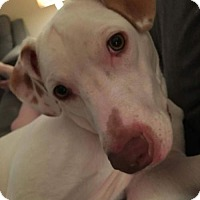 American Pit Bull Terrier/Vizsla Mix Dog for adoption in Boston, Massachusetts - Tony