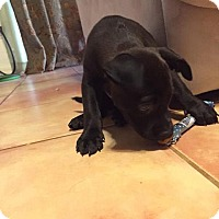 Labrador Retriever/Pit Bull Terrier Mix Puppy for adoption in Wichita Falls, Texas - Clyde