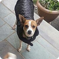 Adopt A Pet :: Bella - Auburn, MA