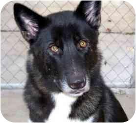 Akita/German Shepherd Dog Mix Dog for adoption in Houston, Texas - Miyoshi