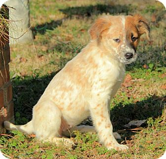 Australian Shepherd/English Setter Mix Puppy for adoption in Brattleboro, Vermont - Lizzy