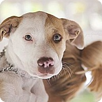 Adopt A Pet :: Basil - Reisterstown, MD