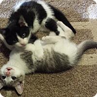 Adopt A Pet :: Panda Bear - Acme, PA