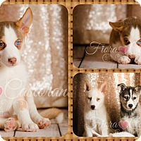 Adopt A Pet :: Echo - DOVER, OH