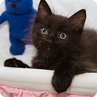Adopt A Pet :: Shadow - Irvine, CA