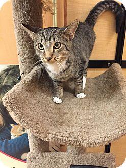 Domestic Shorthair Cat for adoption in Monroe, Georgia - Loki
