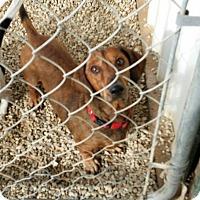 Adopt A Pet :: Bandy - Lubbock, TX