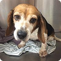 Adopt A Pet :: Toffee-Sweet, Gentle - Oak Ridge, NJ