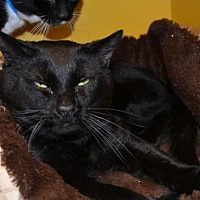 Domestic Shorthair Cat for adoption in Akron, Ohio - Sable
