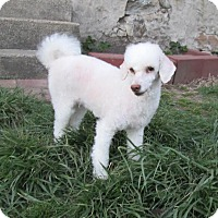 Adopt A Pet :: Puff the Magic Poodle - West Warwick, RI