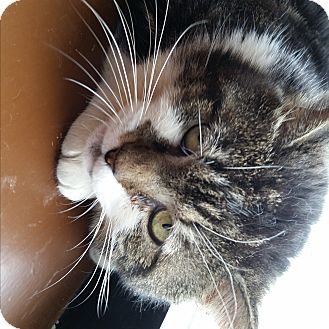 Domestic Shorthair Cat for adoption in Little Falls, New Jersey - Moe (SO)