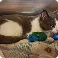 Adopt A Pet :: Mr Gray - Morganton, NC