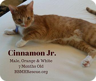 Domestic Shorthair Kitten for adoption in Temecula, California - Cinnamon Jr.