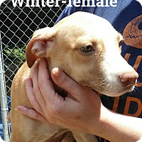 Adopt A Pet :: Winter - Burlington, VT