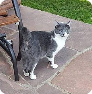 Domestic Shorthair Cat for adoption in Ogallala, Nebraska - Mr. Stubbs