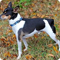 Rat Terrier Dog for adoption in Andover, Connecticut - JACK
