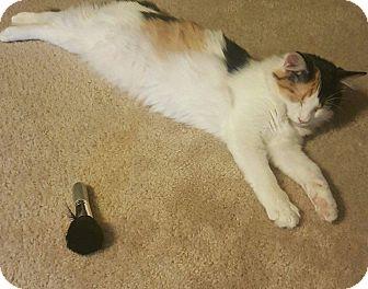 Calico Cat for adoption in Mansfield, Texas - Petunia
