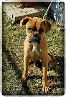 Boxer Dog for adoption in Washington, D.C. - Dixie (Has Application/Needs Foster)