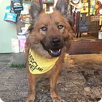 Adopt A Pet :: Ruff Lauren - Los Angeles, CA