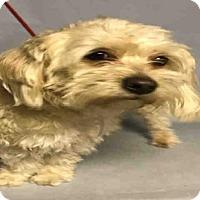 Adopt A Pet :: LUCAS - Brooklyn, NY