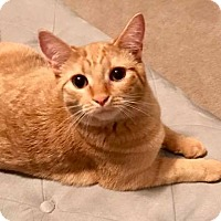 Adopt A Pet :: Butterscotch - Youngsville, NC