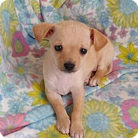 Adopt A Pet :: Teddy - Manhattan Beach, CA