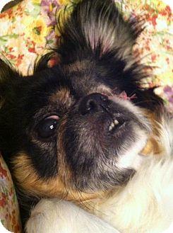 Pekingese Dog for adoption in Shirley, New York - PRU PRU