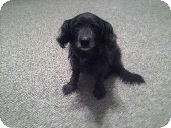 Ebony-GENTLE   Adopted Dog   Oak Ridge, NJ   Cocker ...  Ebony-GENTLE   ...