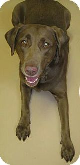 Labrador Retriever Mix Dog for adoption in Tunbridge, Vermont - Sara Bear