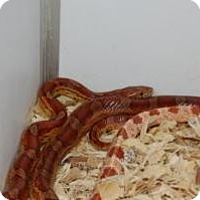 Snake for adoption in Brooklyn, New York - Corn Snake