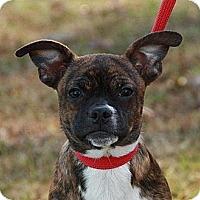 Adopt A Pet :: Scrappy (esther) - Brattleboro, VT