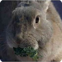 Adopt A Pet :: Callie - Huntsville, AL