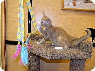 Domestic Shorthair Kitten for adoption in Miami, Florida - Romero