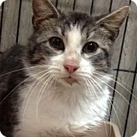 Domestic Shorthair Cat for adoption in Porter, Texas - Greystoke