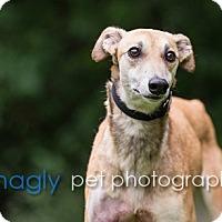 Greyhound Dog for adoption in Dallas, Texas - Victoria