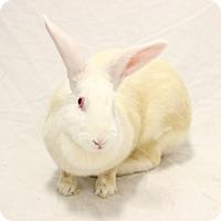 Adopt A Pet :: Bunnicula - Bradenton, FL