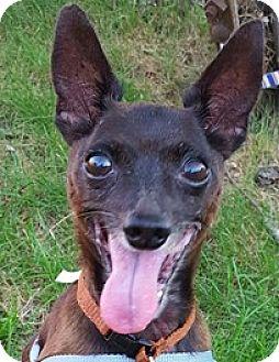 Miniature Pinscher Dog for adoption in Bloomington, Illinois - Hermyn