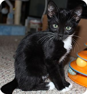Domestic Shorthair Kitten for adoption in North Highlands, California - Alexander