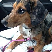 Beagle/Australian Shepherd Mix Dog for adoption in Florence, Kentucky - Sadie