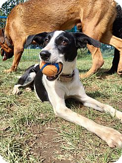 Basenji/Border Collie Mix Puppy for adoption in Toronto, Ontario - BUBBLES