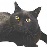 Domestic Shorthair Cat for adoption in Lakewood, Colorado - Biggie Fry