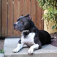 American Staffordshire Terrier Mix Dog for adoption in Los Angeles, California - Matilda