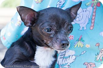 Chihuahua Mix Dog for adoption in Daleville, Alabama - Scrappy