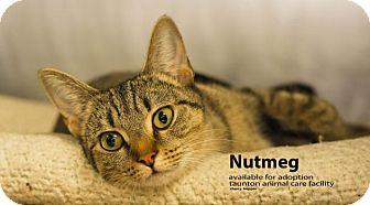 Domestic Shorthair Cat for adoption in Brockton, Massachusetts - Nutmeg