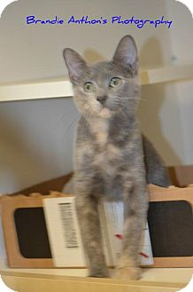 Domestic Mediumhair Kitten for adoption in ROSENBERG, Texas - Smokey
