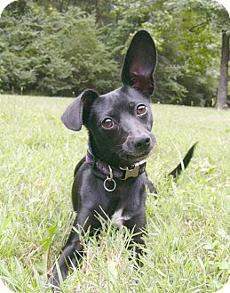 greyhound terrier mix lizzie adopted dog mocksville nc rat terrier 3982