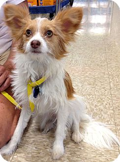 Papillon/Chinese Crested Mix Puppy for adoption in Phoenix, Arizona - Rodie